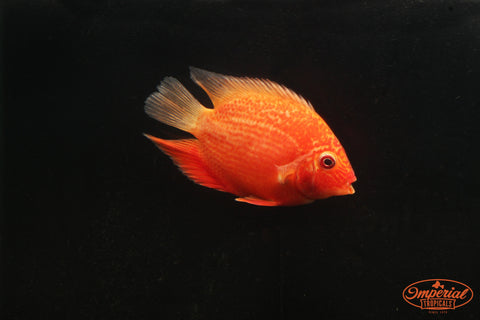 Red Spotted Severum (Heros sp.) - Imperial Tropicals