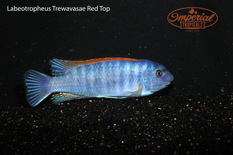 Red Top (Labeotropheus trewavasae) - Imperial Tropicals