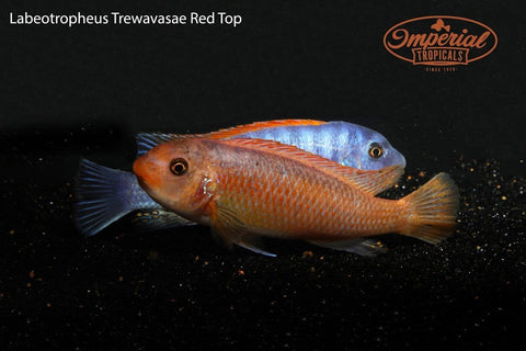 Red Top (Labeotropheus trewavasae)