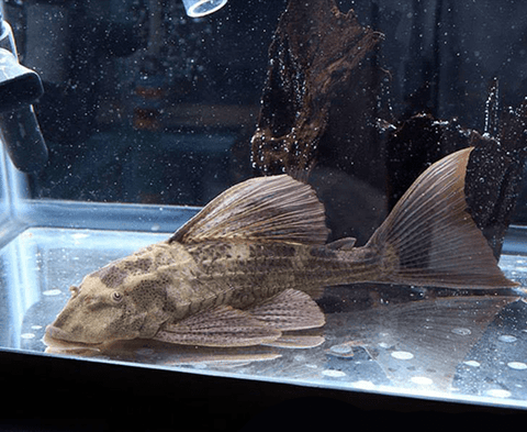 Red Fin Pleco (Hypostomus Laplatae) - Imperial Tropicals
