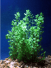 (Rotala indica) - Imperial Tropicals