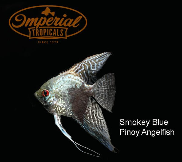 Smokey Pinoy Angelfish (Pterophyllum scalare) - Imperial Tropicals