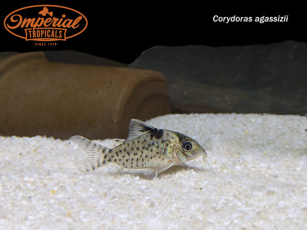 Spotted Cory (Corydoras agassizii)