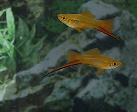 Sunset Swordtail (Xiphophorus hellerii) - Imperial Tropicals