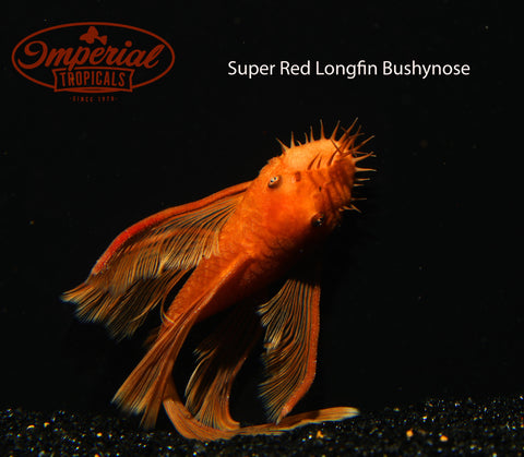 Longfin Super Red Bushynose (Ancistrus sp.) - Imperial Tropicals