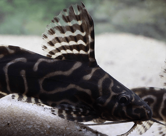 Synodontis angelicus/S. eupterus Hybrid - Imperial Tropicals
