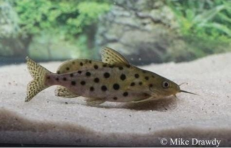 (Synodontis ocellifer) - Imperial Tropicals