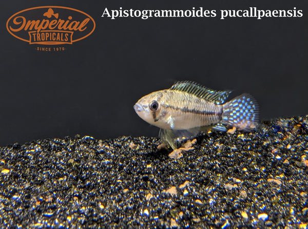 T-Bar Apisto (Apistogrammoides pucallpaensis) - Imperial Tropicals