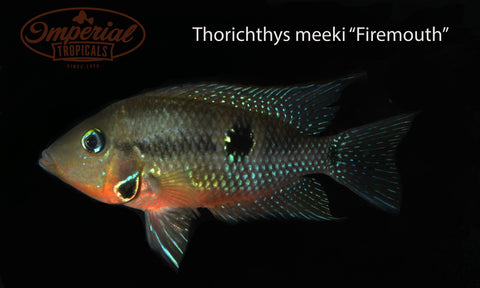 Firemouth (Thorichthys meeki) - Imperial Tropicals