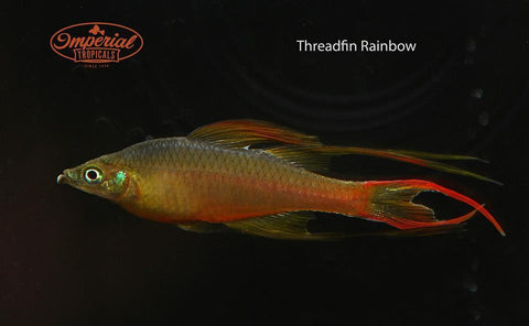 Threadfin Rainbowfish (Iriatherina werneri) - FEMALES NOW AVAILABLE - Imperial Tropicals