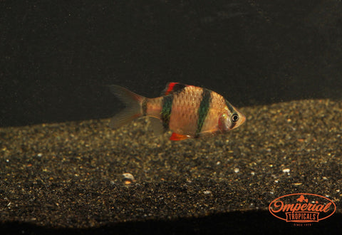 Tiger Barb (Puntigrus tetrazona) - Imperial Tropicals