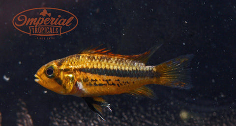 "Apistogramma Cacatuoides ""Triple Red"" - Dwarf Cockatoo Cichlid - Imperial Tropicals"