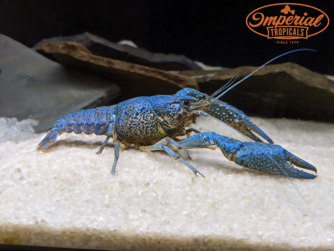 Electric Blue Crayfish (Procambarus alleni) WYSIWYG