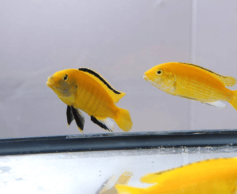 Yellow Lab (Labidochromis caeruleus) - Imperial Tropicals
