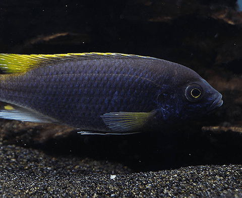 Yellow Tail Acei (Pseudotropheus acei) - Imperial Tropicals