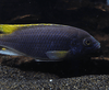 Yellow Tail Acei (Pseudotropheus elegans) - Imperial Tropicals