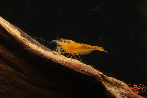Yellow Shrimp (Neocaridina davidi) - Imperial Tropicals