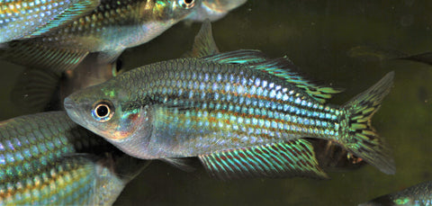 Adelaide River Rainbowfish (Melanotaenia splendida) - Imperial Tropicals