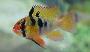 German Blue Ram (Mikrogeophagus ramirezi) - Imperial Tropicals