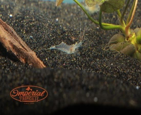 Ghost Shrimp (Palaemonetes) - Imperial Tropicals