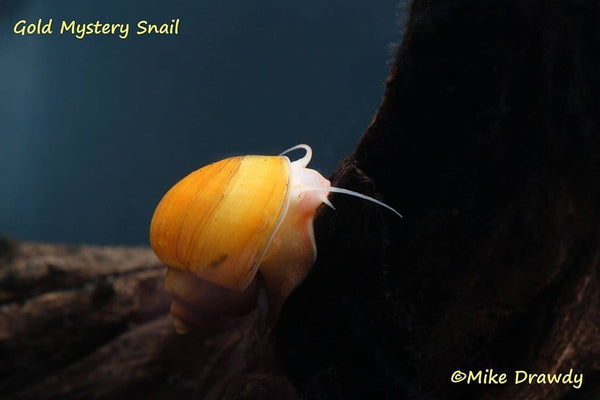 Mystery Snail Combo Pack (Pomacea bridgesii) - Imperial Tropicals