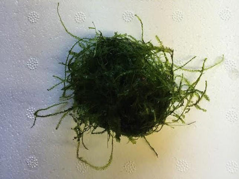 Java Moss (Taxiphyllum barbieri) Golf Ball Sized Portion - Imperial Tropicals