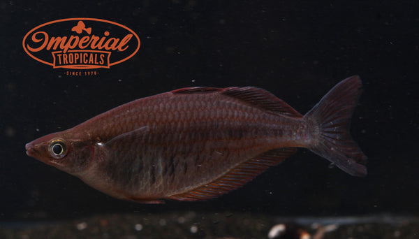 "Chilatherina fasciata "" Kali Biru"" Rainbowfish - Imperial Tropicals"
