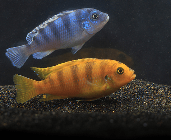 Kenyi Cichlid (Pseudotropheus lombardoi) - Imperial Tropicals