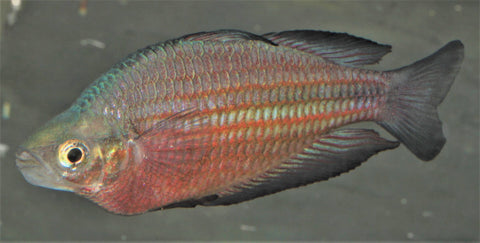 Black Fin Rainbowfish - Upper Katherine River (Melanotaenia australis) - Imperial Tropicals