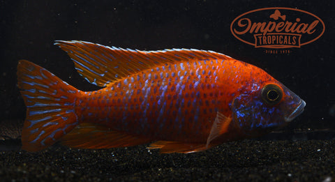 "Ruby Red Peacock ""Roter Kaiser"" (Aulonocara Sp. Rubescens)"