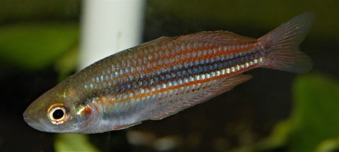 Melanotaenia utcheensis Rainbowfish - Imperial Tropicals