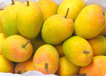 Large Alphonso Mangoes from Valsad