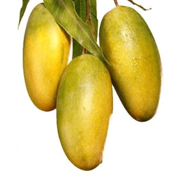 Large Dasheri Mangoes from Uttar Pradesh