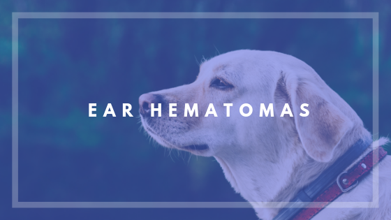 Older Pups vs Hematomas
