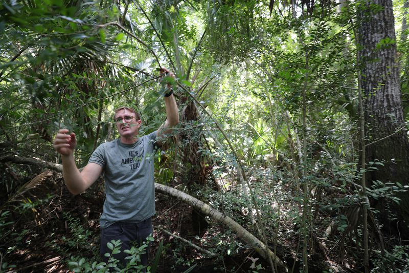 Yaupon 'tea' grows wild in Florida and could help struggling citrus farmers someday - from Orlando Sentinel