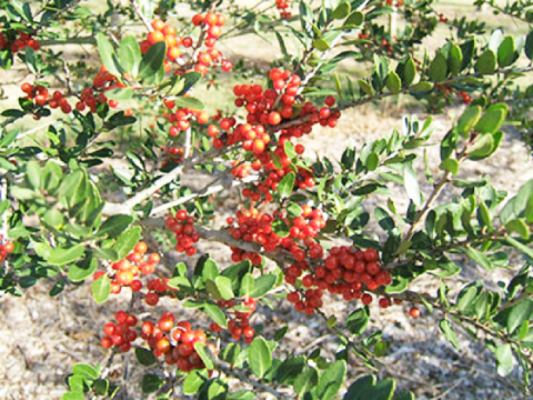 Florida Friendly Plant of the Week: Yaupon Holly