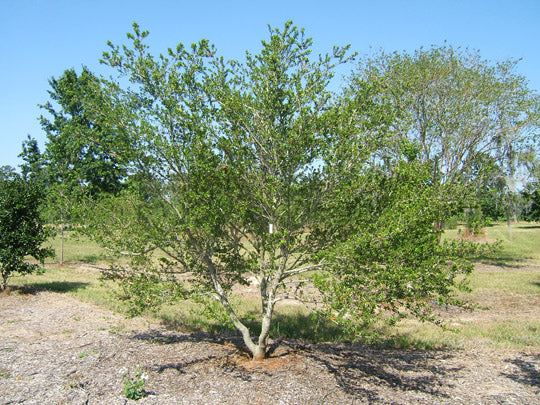 Yaupon Holly Could Be Savior For Florida Agriculture