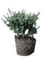 Live Yaupon Tree (1 gal)