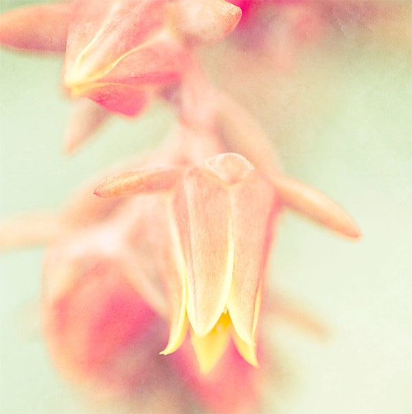 Close up art print of a pink & yellow flower