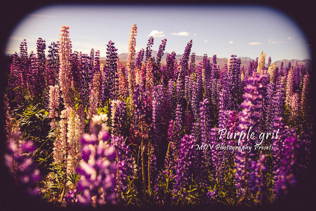 After lightroom preset 'Purple grit' applied - colourful lupin flowers in a field, black border surrounds image