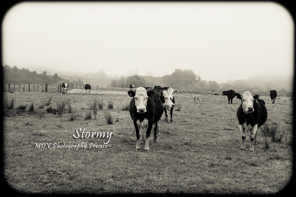 After lightroom preset 'Stormy' applied - 3 cows in a field on a misty day (black and white), black border surrounds image