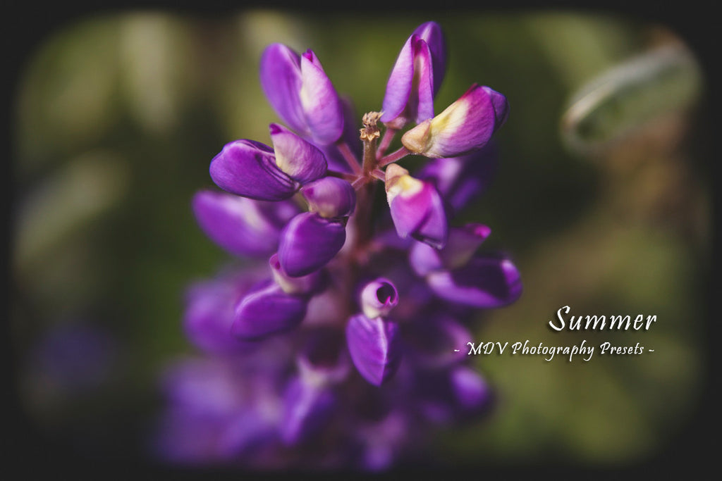 After lightroom preset 'Summer' applied - purple lupin flower in foreground, green shrubbery out of focus background, black border surrounds image