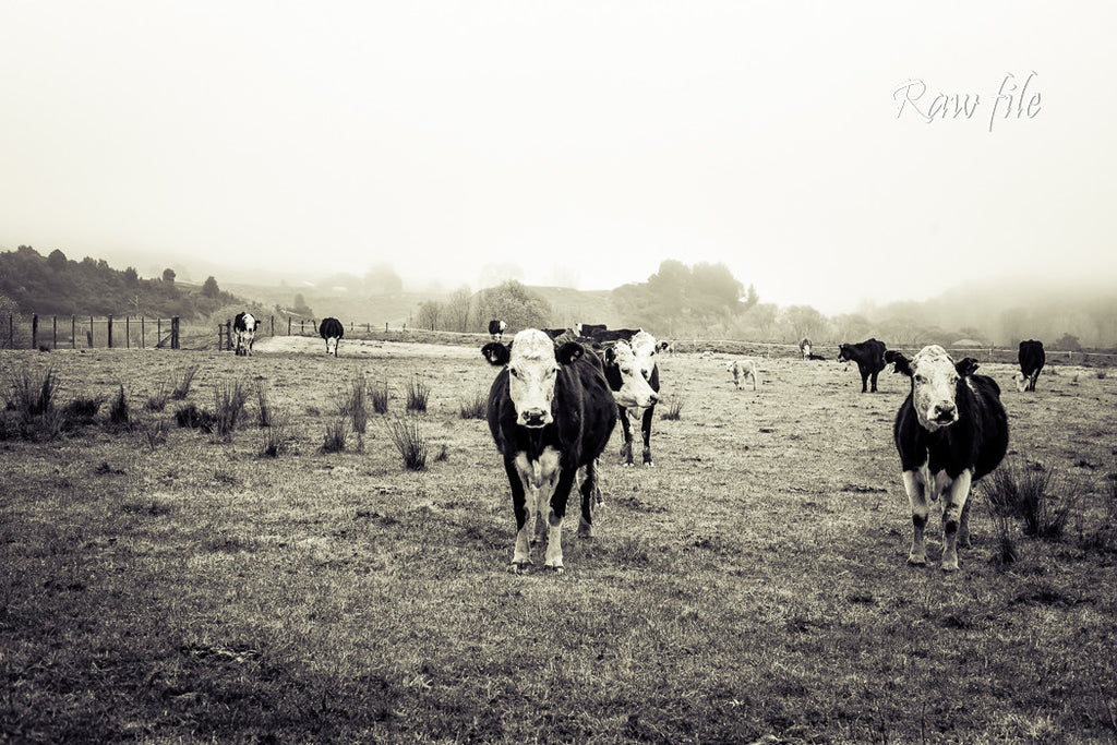 Before lightroom preset applied - cows in a field on a misty day (black & white)