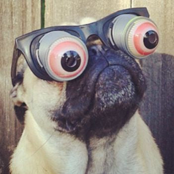 5 Annoying Habits All Pug Owners Learn To Love Thepassionatepug