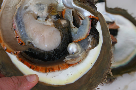 South Sea Pearl Oyster with South Sea Pearl