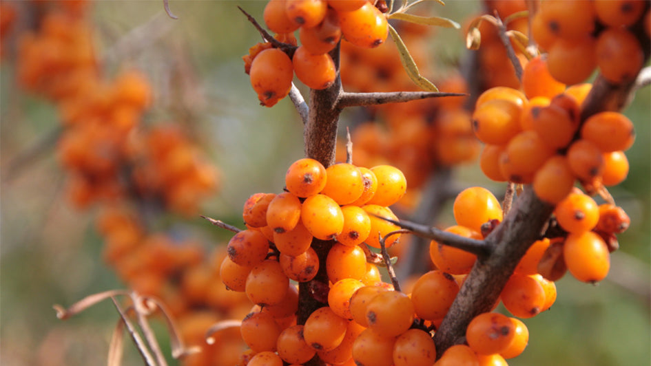 sea buckthorn, sea berry, plant, fruit, natural, organic, Tibetan Plateau, akar skin