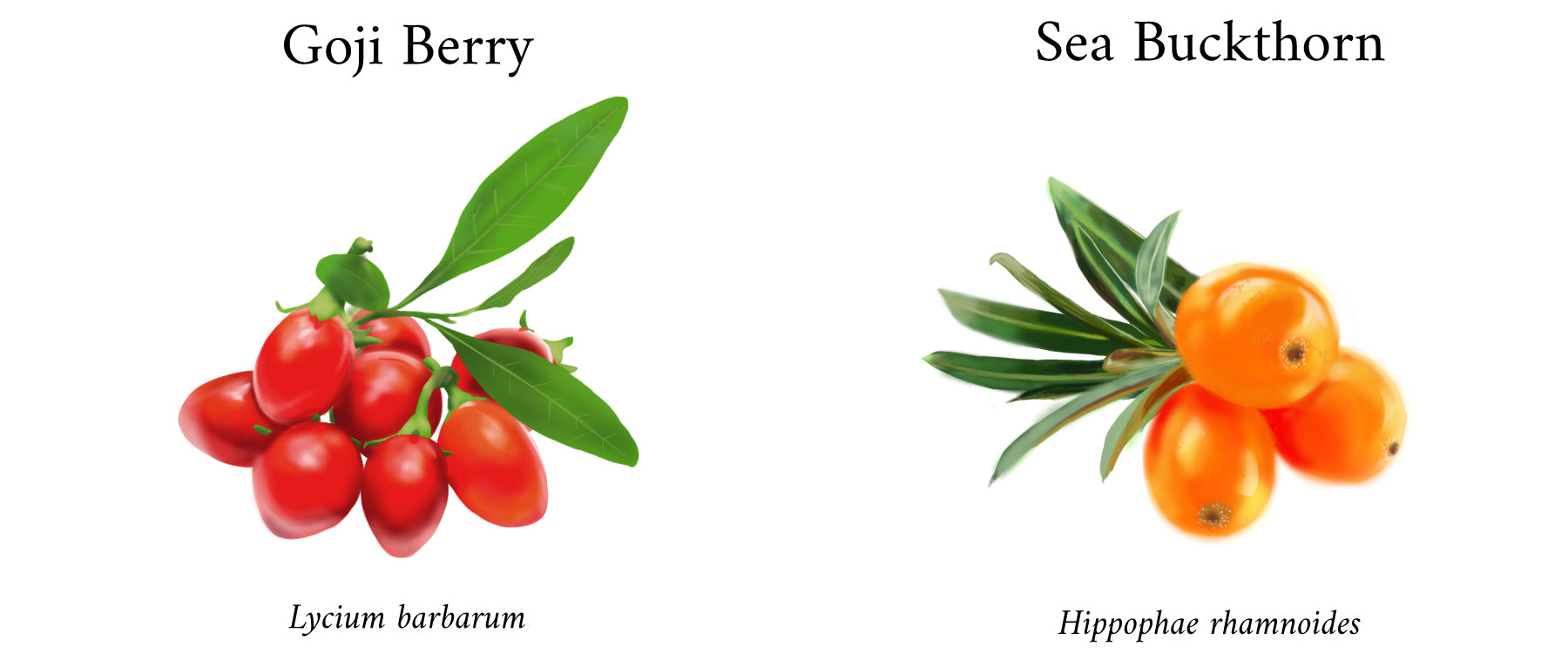 goji berry, wolf berry, sea buckthorn, sea berry, Tibetan, miracle berries, superfood, antioxidant, lycium barbarum, hippophae rhamnoides, sourcing, farming