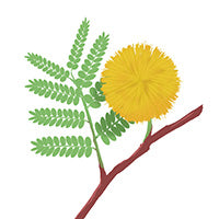 Acacia flower on branch