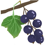 Blackcurrant berry on branch