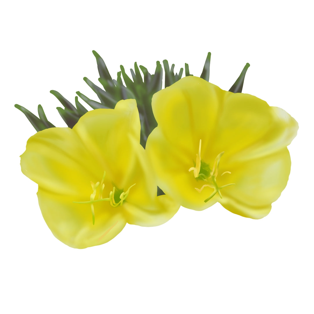 Yellow evening primrose flower